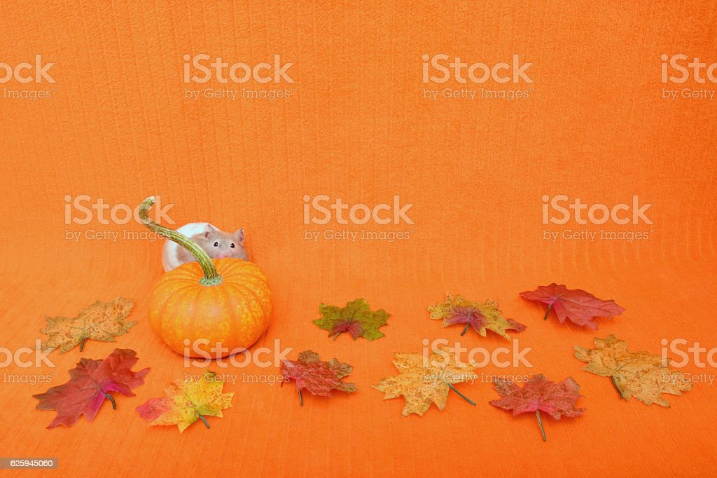 Thanksgiving Hamster Peeking stock photo