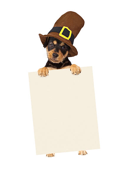 Thanksgiving Puppy Dog Holding Blank Sign Cute puppy wearing a Thanksgiving pilgrim hat standing up and holding a blank sign to enter your marketing message onto thanksgiving pets stock pictures, royalty-free photos & images