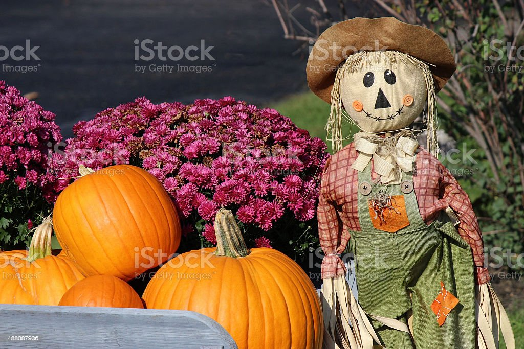 Thanksgiving Scarecrow, Purple Mums and Pumpkins in an Antique Wheelbarrow stock photo