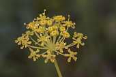 istock Thapsia villosa the hairy deadly carrot toxic plant with lovely small yellow flowers forming umbels 1222819124