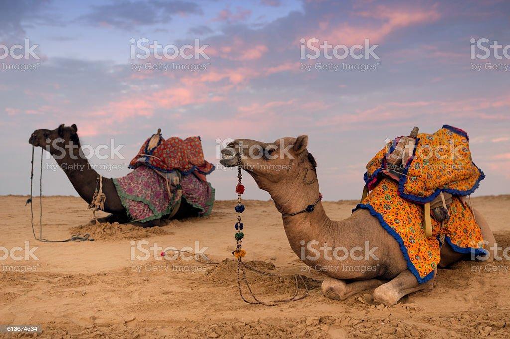 Thar Desert Camels in Jaisalmer India stock photo