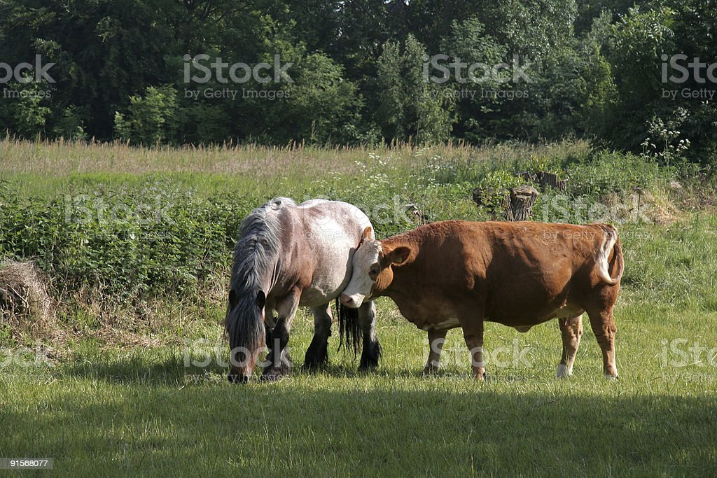 Thats What Friends Are For Cow Leaning Head On Horse Stock Photo Download Image Now Istock