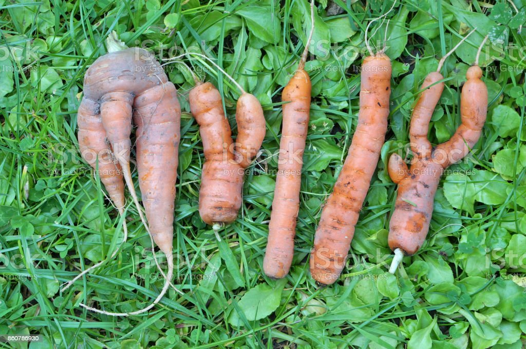 The abstract word 'MYLLY' is made from ugly carrots stock photo