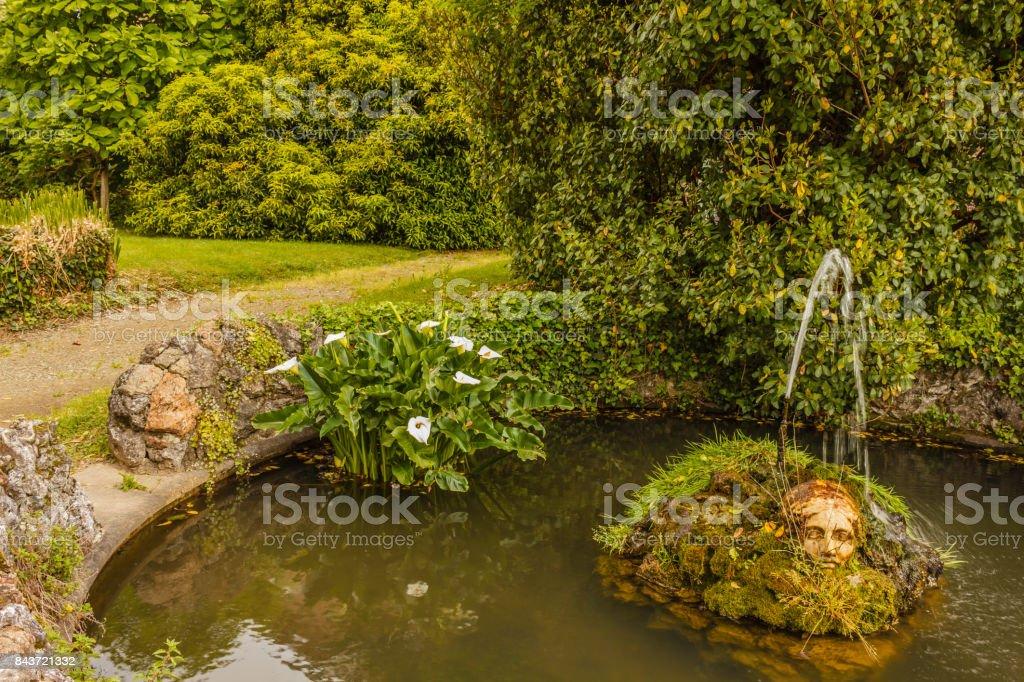 the acquatic white calla lily known as zantedeschia aethiopica callas stock photo