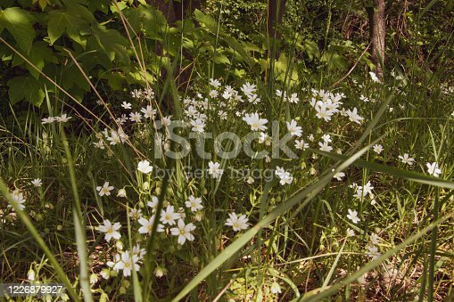 The addersmeat, chickweed  is a larger relative of the chickweed and belongs to the family of the carnation family. It is a common spring bloomer in shrubbery and deciduous forest.