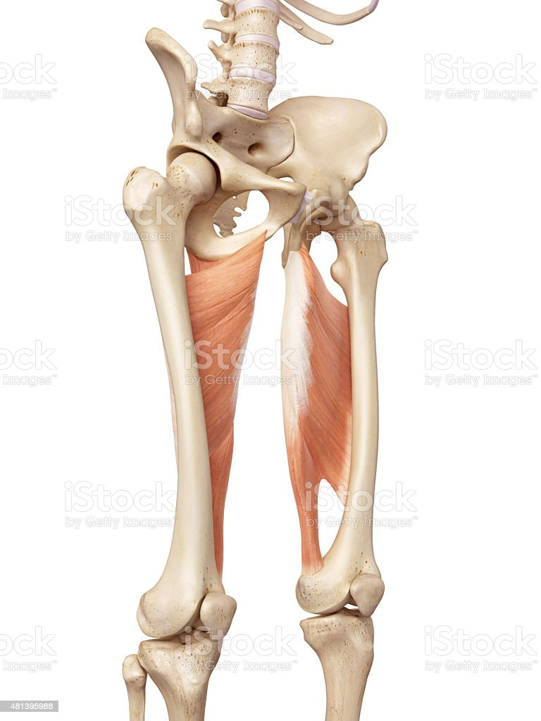 The adductor magnus stock photo