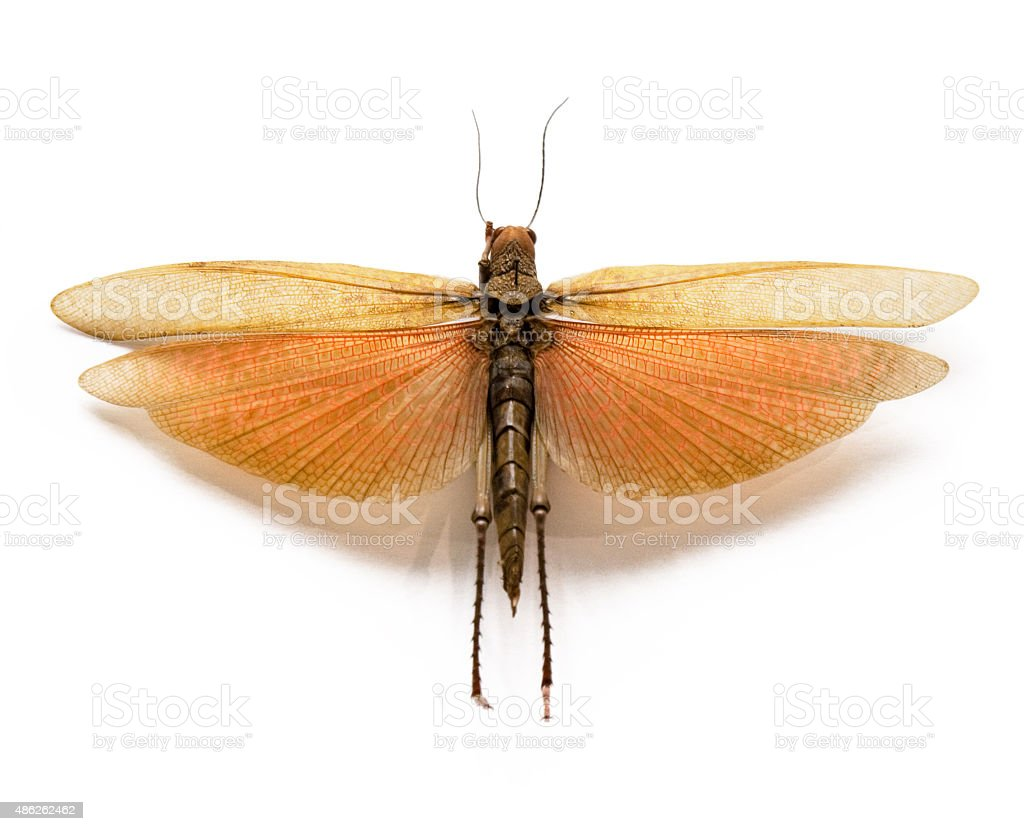 The adult locust on a white background. stock photo