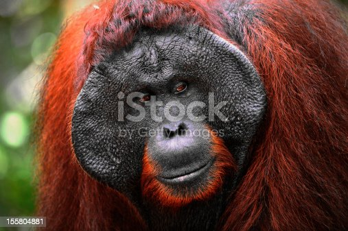 istock The adult male of Orangutan. 155804881