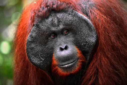 istock The adult male of Orangutan. 155804881