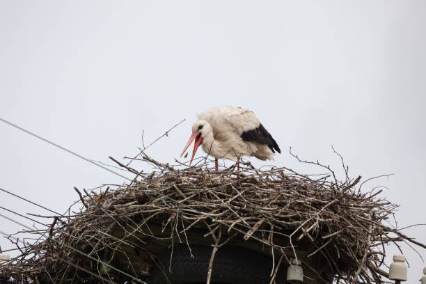 Cтоковое фото The adult white stork in a nest catches a beak of sterns