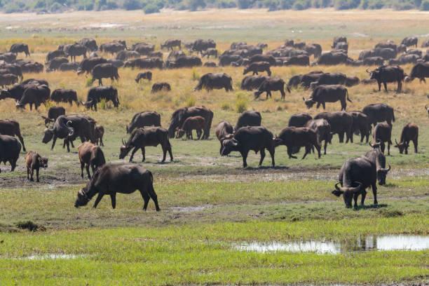 The African buffalo or Cape buffalo on the Chobe River, Botswana, Africa stock photo