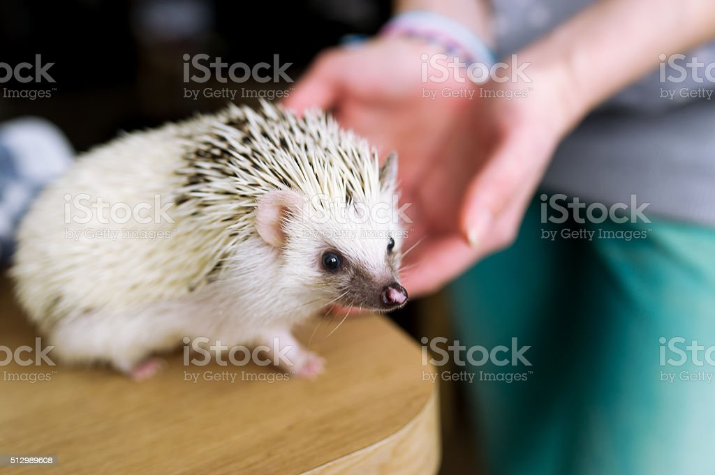 The African hedgehog sits on a table. stock photo