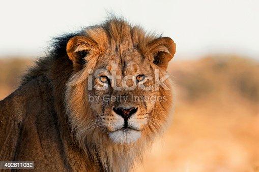 Male Lion, Kalahari, South Africa