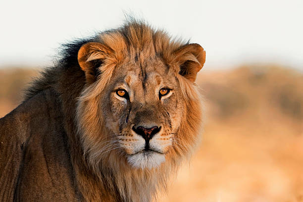 The African King Male Lion, Kalahari, South Africa Leo stock pictures, royalty-free photos & images