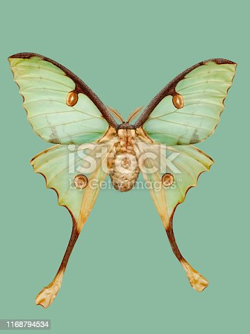 Studio shot of a  Argema mimosae, on a turquoise background  Argema mimosae, the African moon moth, is a giant silk moth of the family Saturniidae.  Moths symbolize determination, attraction, psychic abilities, and faith.   Image easy to edit and use elements in patterns.