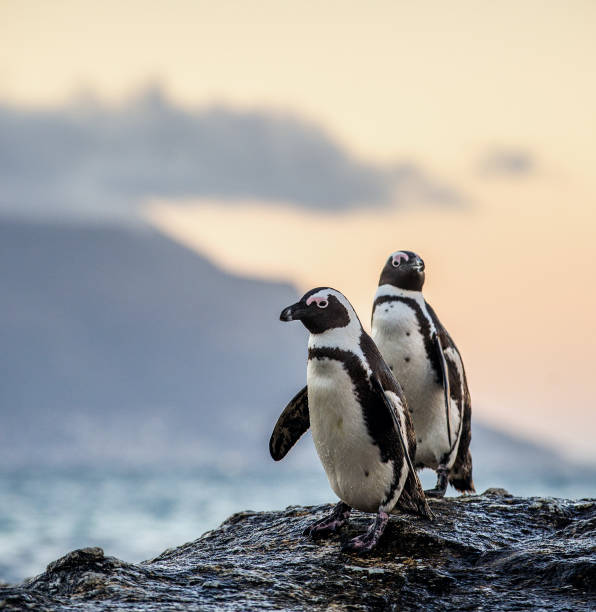 The African penguins in twilight evening stock photo