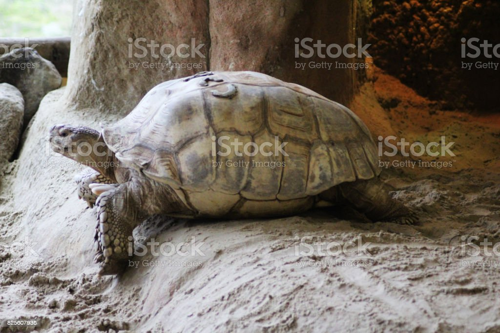 The African spurred tortoise (Centrochelys sulcata) stock photo