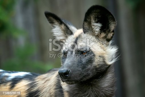 The African wild dog (Lycaon pictus)