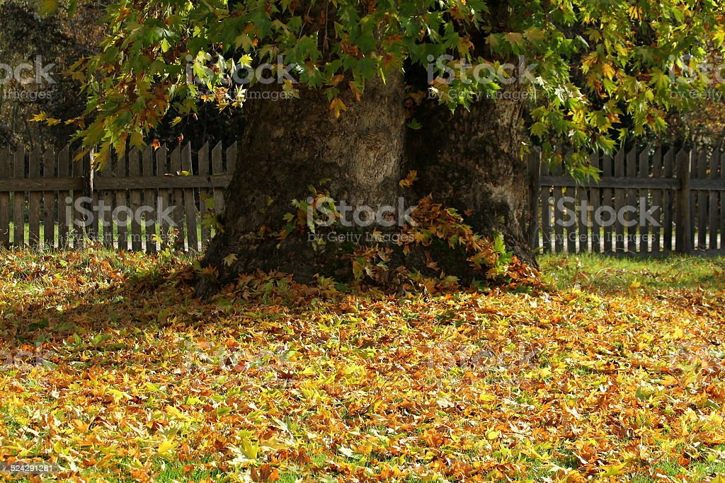 the age-old Sycamore tree stock photo