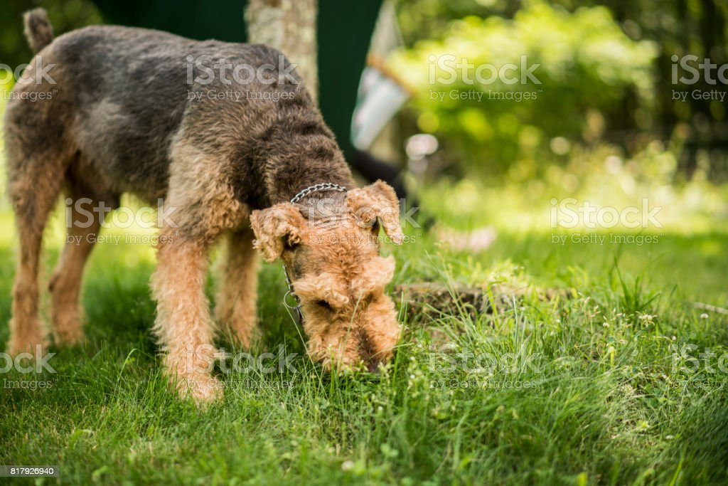 The Airedaile Terrier dog eats the grass at the backyard stock photo