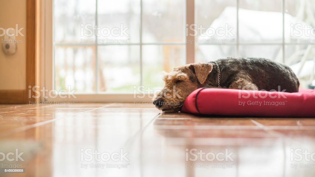 The Airedale terrier dog sleeping at the dog pad stock photo