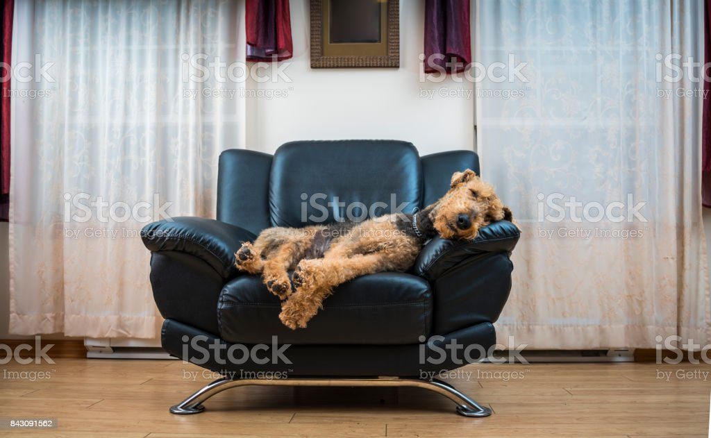 The Airedale terrier dog sleeping in the chair stock photo