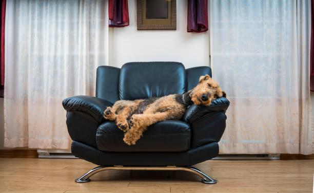 der airedale terrier hund schlafen auf dem stuhl - hunde träger stock-fotos und bilder