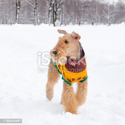 istock The airedale terrier. Young energetic dog walks. Walking outdoors in the winter. 1133444457