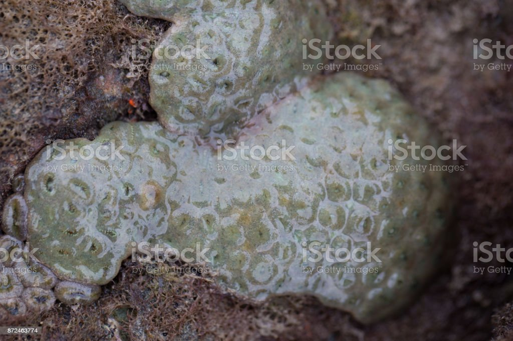 The Alcyonacea, or soft corals, are an order of corals which do not produce calcium carbonate skeletons in sea for education. stock photo