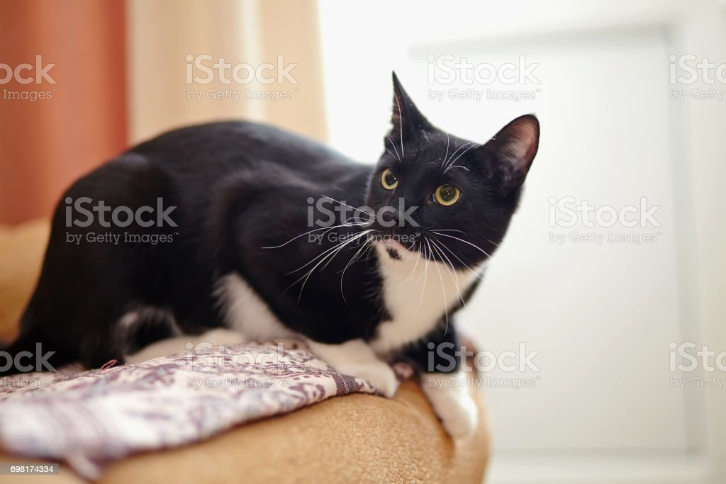 The alerted domestic cat of a black-and-white color stock photo