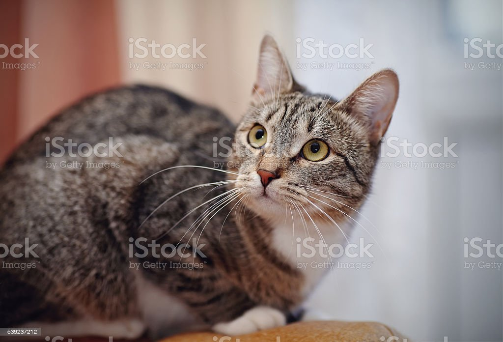 The alerted striped domestic cat royalty-free stock photo