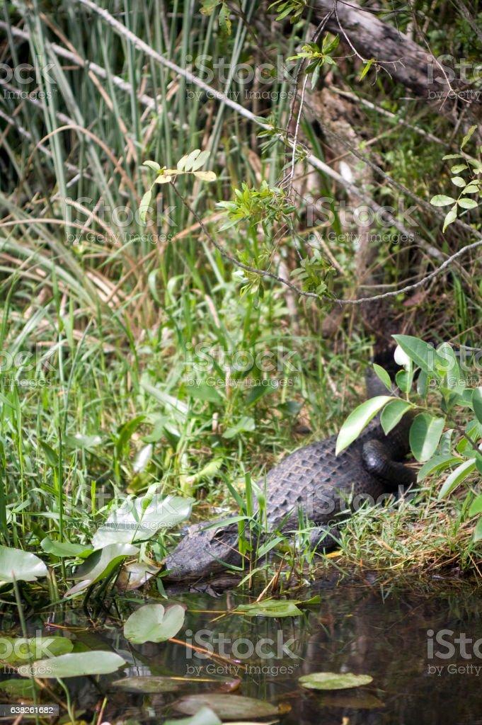 the alligator near the river stock photo