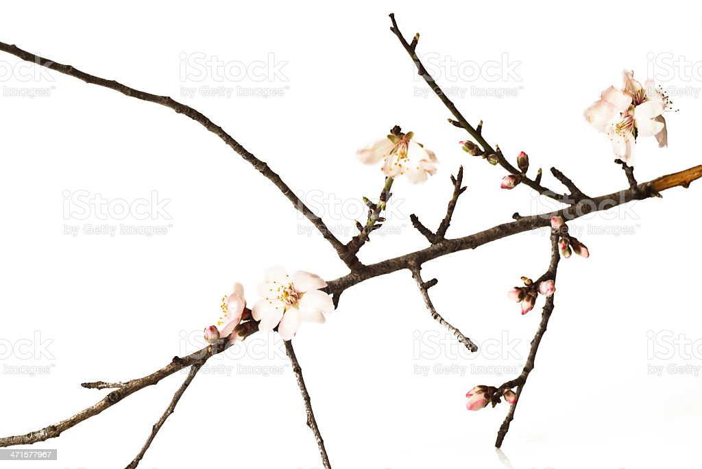 Del mandorlo fiori rosa con rami - foto stock