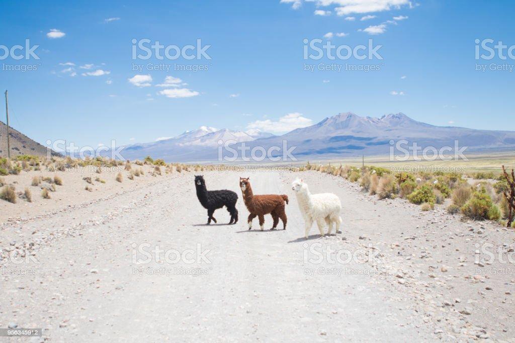 The Alpacas stock photo