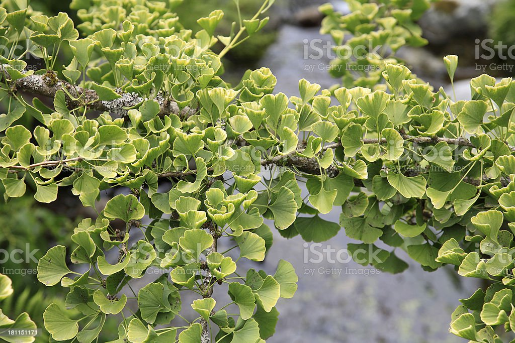 The Amazing And Exquisite Ginkgo Biloba Tree royalty-free stock photo