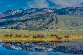 The American bison or simply bison (Bison bison), also commonly known as the American buffalo or simply buffalo, Yellowstone National Park. The herd of Bison near the river with reflections of the bison and the mountains.