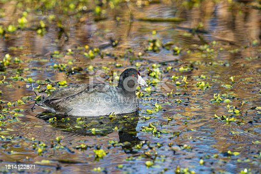 The American coot (Fulica americana), also known as a mud hen or pouldeau, is a bird of the family Rallidae. Sacramento National Wildlife Refuge, Sacramento Valley, California