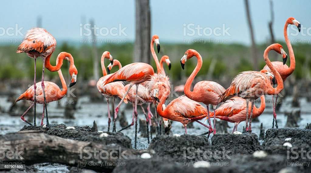 The American Flamingos stock photo