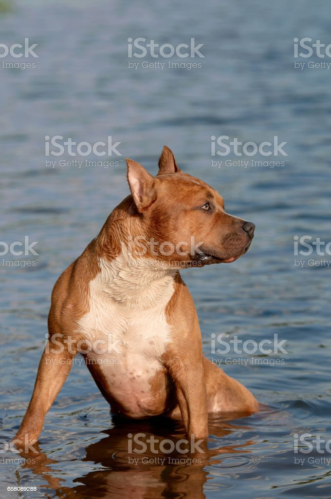 The American Staffordshire Terrier cooling down royalty-free stock photo