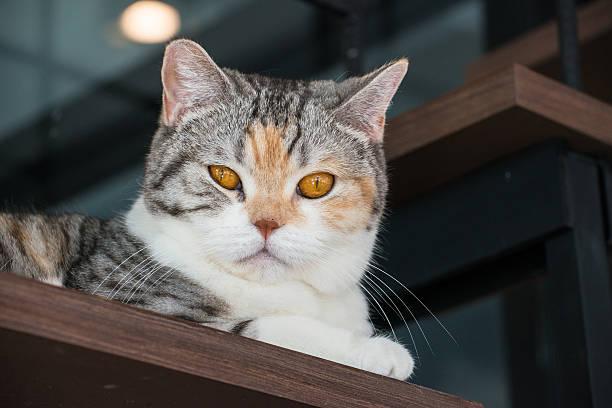 The american wirehair cat picture id628344260?b=1&k=6&m=628344260&s=612x612&w=0&h=xpkz01kqok2bq3gn98ym6asd uif7mffgbni12eajem=