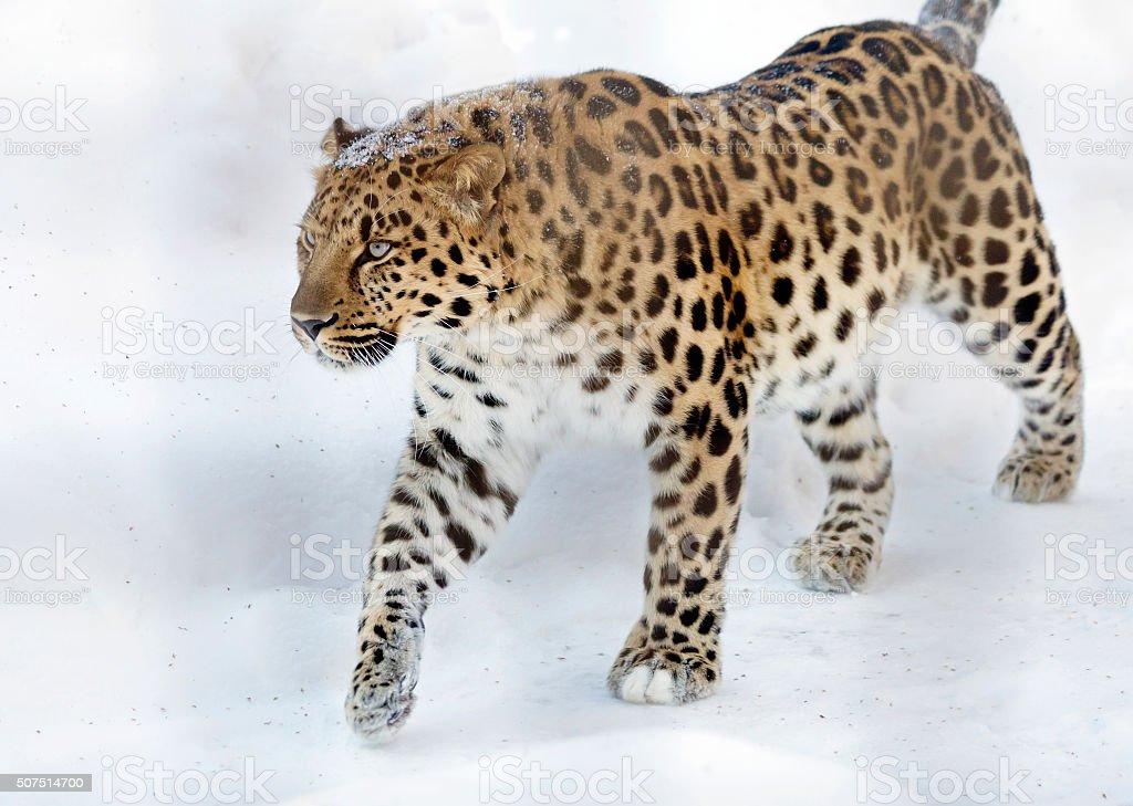 Die Amur leopard – Foto