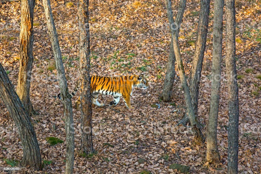 The Amur tiger is walking through the forest, taiga, autumn. - Stock image .