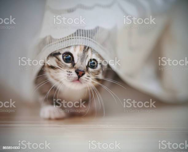 The amusing striped kitten gets out from under a curtain picture id865854930?b=1&k=6&m=865854930&s=612x612&h=ezjytxhp1yw4vqlsx2joihqvpgex3p58azzaypxdspq=