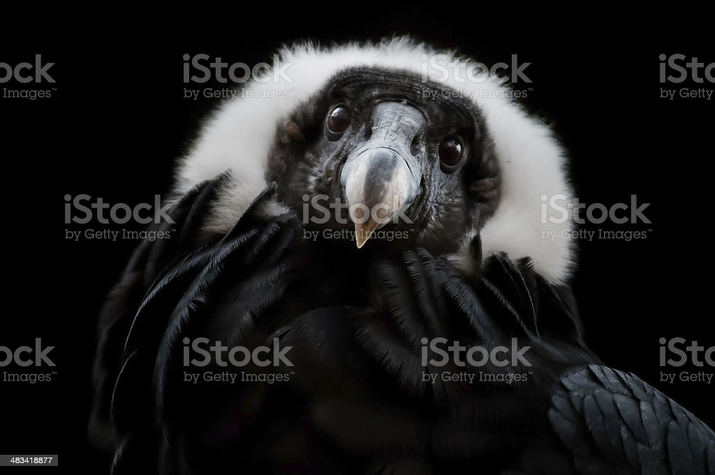 The Andean Condor (Vultur gryphus) stock photo
