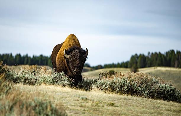 The angry Bison bildbanksfoto