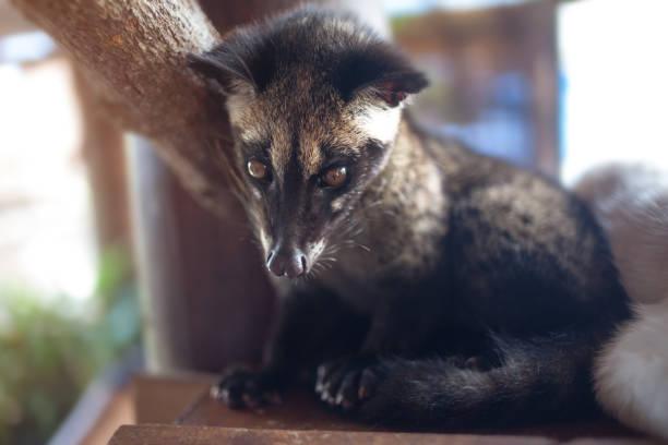 el animal, utilizado para la producción de gourmet más caro café kopi luwak - gato civeta fotografías e imágenes de stock