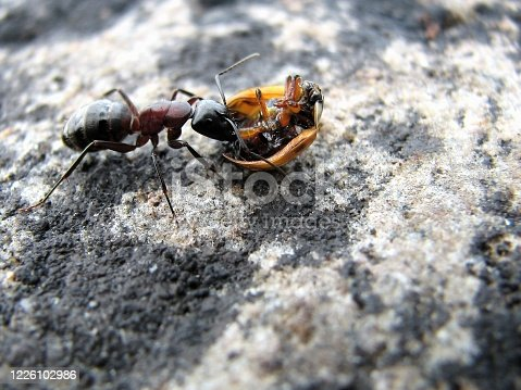 August photo with a close up of an ant eating on a dead ladybug