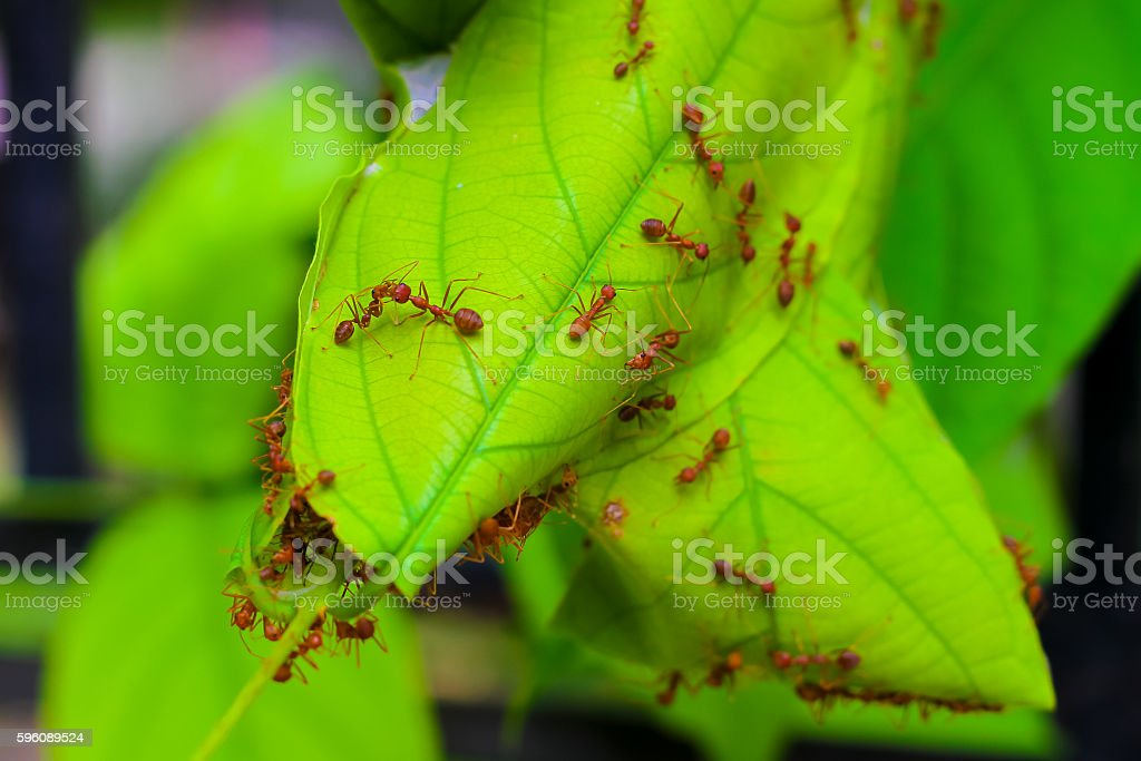 The ant life,Red Ants nesting on tree royalty-free stock photo