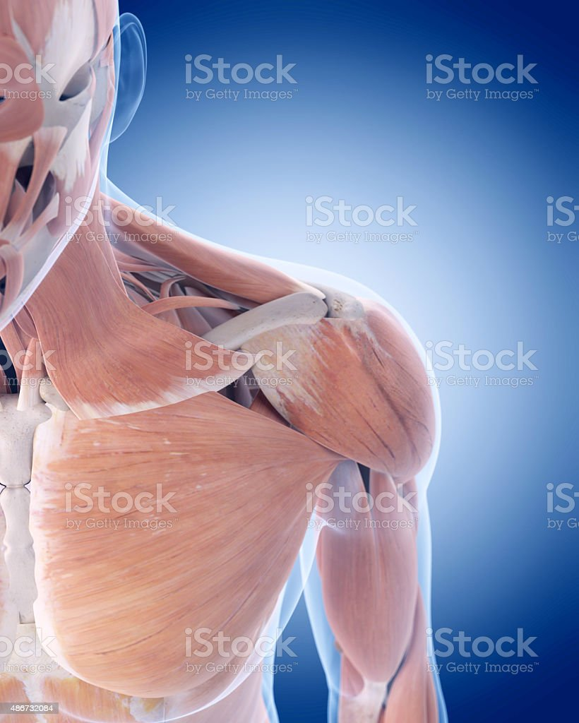 the anterior shoulder muscles stock photo