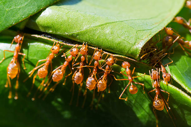 the ants are nesting help - ants working together stock photos and pictures
